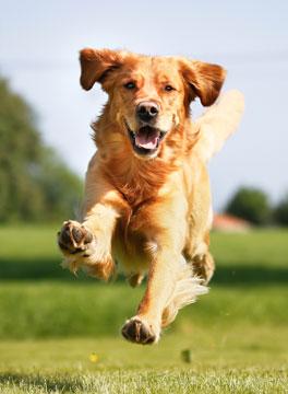 Golden Retreiver running towards camera